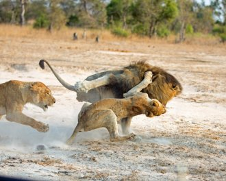 dominate-male-attacking-other-lions-offspring