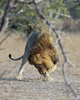 lion-pulling-thorns-out